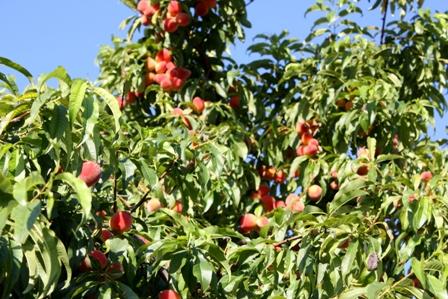 My Peach Tree1