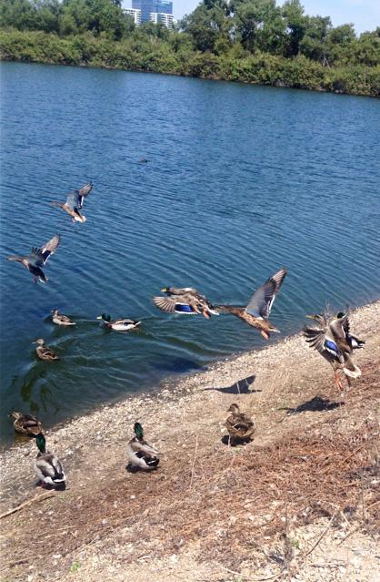 IRWD Ducks